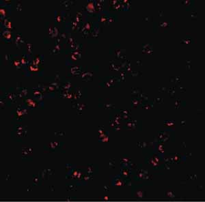 Immunocytochemistry/ Immunofluorescence - Anti-CTRP7 antibody (ab25947)