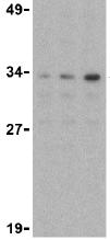 Western blot - Anti-Nudel antibody (ab25959)