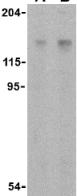 Western blot - Anti-Raptor antibody (ab25975)