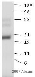 Western blot - Anti-HOXB6 antibody (ab26077)