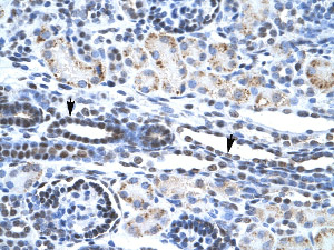 Immunohistochemistry (Formalin/PFA-fixed paraffin-embedded sections) - Anti-ETS1 antibody (ab26096)