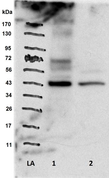 Western blot - Anti-IRF1 antibody - ChIP Grade (ab26109)