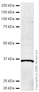 Western blot - IRF1 antibody (ab26109)