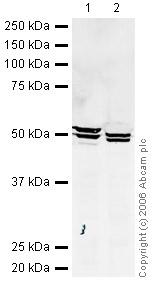 Western blot - NRG1 type I antibody (ab27303)