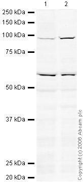 Western blot - Anti-XPB antibody (ab27317)