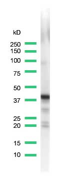 Western blot - Anti-Synaptophysin antibody [SP11], prediluted (ab27601)