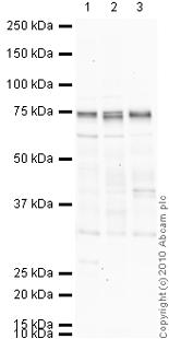 Western blot - Anti-ADAM23 antibody - Cytoplasmic domain (ab28302)