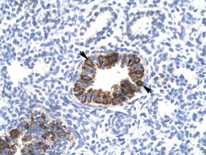 Immunohistochemistry (Formalin/PFA-fixed paraffin-embedded sections) - Anti-MXI1 antibody (ab28740)