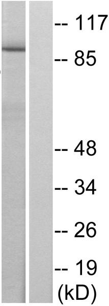 Western blot - Anti-STAT6 (phospho Y641) antibody (ab28829)