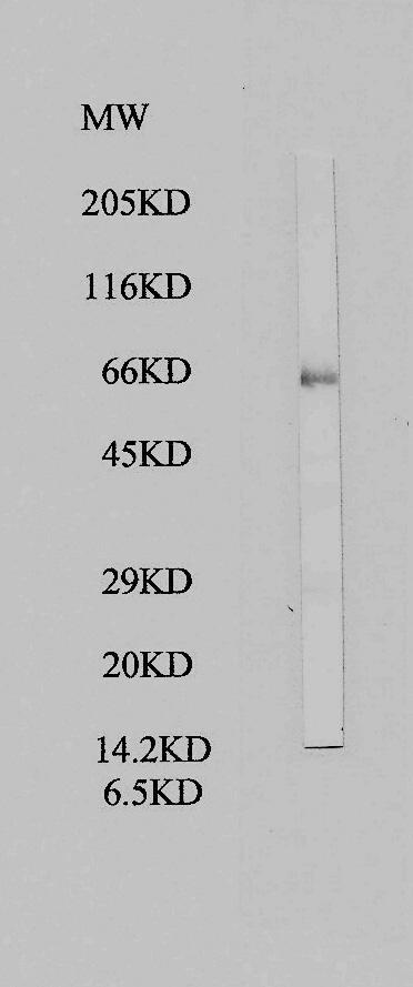 Western blot - Anti-PKNOX1.1 antibody (ab28971)