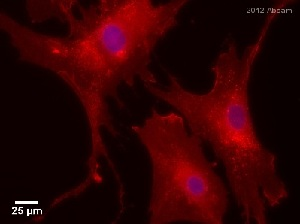 Immunocytochemistry/ Immunofluorescence - Anti-Integrin beta 1 antibody [4B7R] (ab3167)