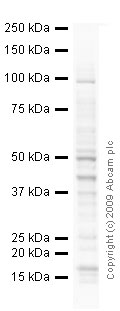 Western blot - Anti-Integrin beta 1 antibody [4B7R] (ab3167)