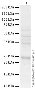 Western blot - Anti-Securin antibody [DCS-280] (ab3305)
