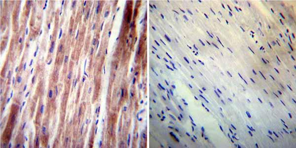 Immunohistochemistry (Formalin/PFA-fixed paraffin-embedded sections) - Anti-VAMP4 antibody (ab3348)