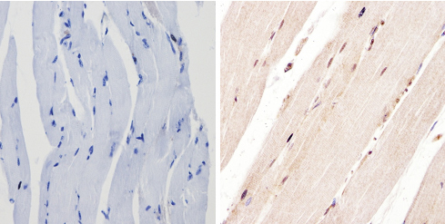 Immunohistochemistry (Formalin/PFA-fixed paraffin-embedded sections) - Anti-PER1 antibody (ab3443)