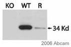 Western blot - Anti-UCP3 antibody (ab3477)