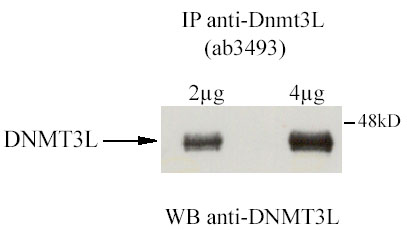 Immunoprecipitation - Anti-Dnmt3L antibody (ab3493)