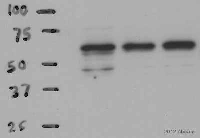 Western blot - Anti-AMPK alpha 2 antibody (ab3760)