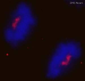 Immunocytochemistry/ Immunofluorescence - Anti-Separase antibody (ab3762)