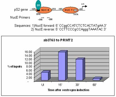 ChIP - Anti-PRMT2 antibody - ChIP Grade (ab3763)