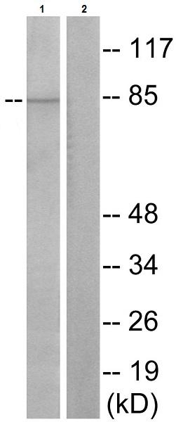 Western blot - Anti-STAT3 (phospho S727) antibody (ab30647)