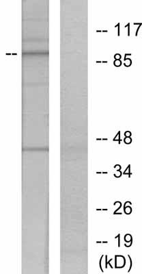 Western blot - Anti-STAT5a (phospho Y694) antibody (ab30648)