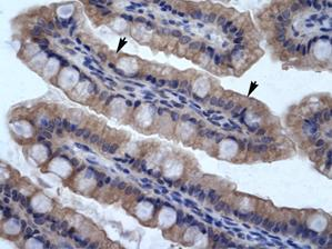 Immunohistochemistry (Formalin/PFA-fixed paraffin-embedded sections) - Anti-SMPDL3B antibody (ab30912)