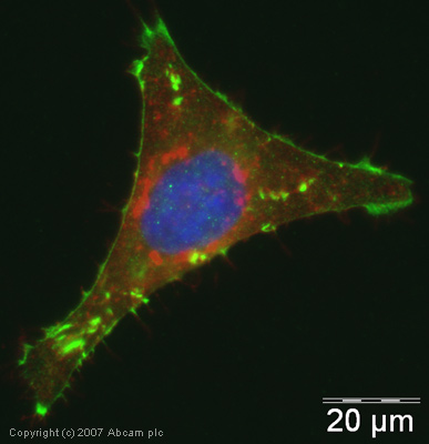 Immunocytochemistry/ Immunofluorescence - Anti-CDAN1 antibody (ab31236)