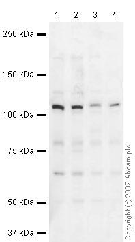 Western blot - Anti-Gemin 4 antibody (ab31581)