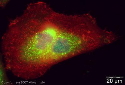Immunocytochemistry/ Immunofluorescence - Anti-Gemin 5 antibody (ab31689)