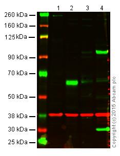 Western blot - Anti-Occludin antibody (ab31721)