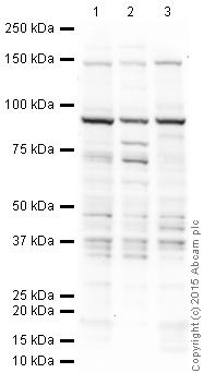 Western blot - Anti-FBXL11 antibody - ChIP Grade (ab31739)