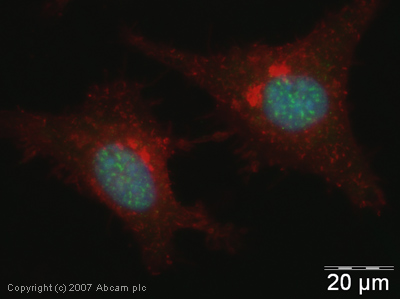 Immunocytochemistry/ Immunofluorescence - Anti-CDC5L antibody (ab31779)