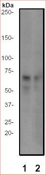 Western blot - Cdc25C (phospho S216) antibody [E190] (ab32051)