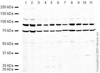 Western blot - Gephyrin antibody (ab32206)
