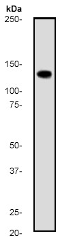 Western blot - Anti-APAF1 antibody [E38] (ab32372)
