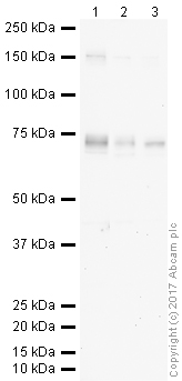 Western blot - Anti-Kv1.1 potassium channel antibody (ab32433)