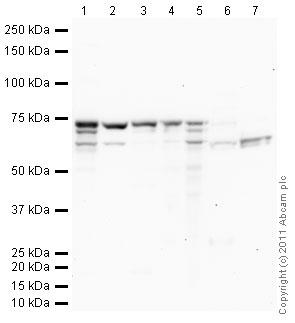 Western blot - Anti-BDP / ARID3B antibody (ab32481)