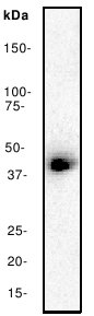 Western blot - CREB antibody [E306] (ab32515)