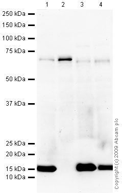 Western blot - Anti-CoREST antibody (ab32631)