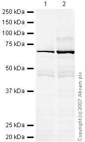 Western blot - Anti-Nucleostemin antibody (ab32682)