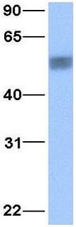 Western blot - Anti-PDCD4 antibody (ab32831)