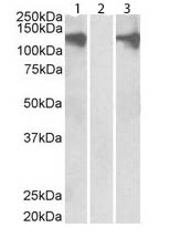 Western blot - Anti-Pumilio 2 antibody (ab32894)