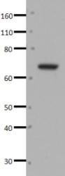 Western blot - Anti-ZNF266 antibody (ab33005)