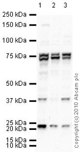 Western blot - Anti-PLK3 antibody (ab33119)
