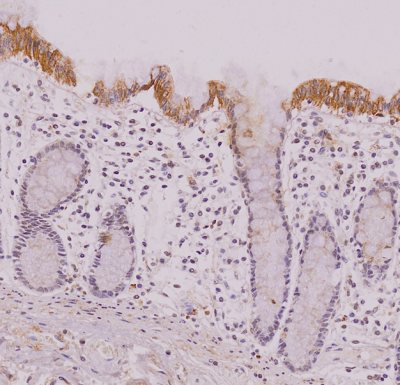 Immunohistochemistry (Formalin/PFA-fixed paraffin-embedded sections) - Anti-IRF5 antibody [10T1] (ab33478)