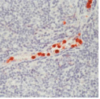 Immunohistochemistry (Formalin/PFA-fixed paraffin-embedded sections) - Anti-CD16 antibody [0.N.82] (ab33515)