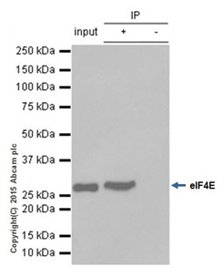 Immunoprecipitation - Anti-eIF4E antibody [Y448] (ab33766)