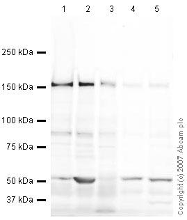Western blot - Anti-Caspr2 antibody (ab33994)