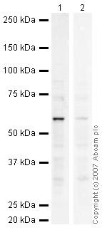 Western blot - SmyD1 antibody (ab34472)